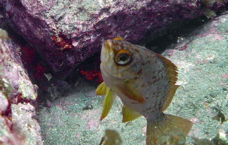 アカメバル|お魚図鑑