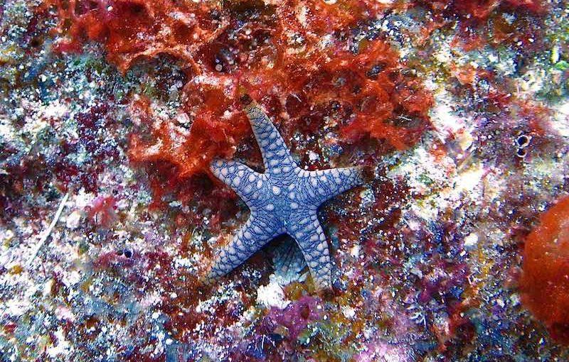 アミメジュズベリヒトデ|海の生物図鑑