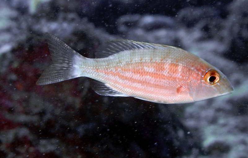 イトフエフキ|お魚図鑑