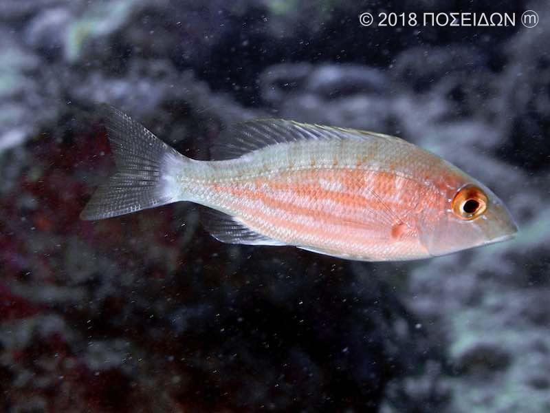 イトフエフキ(若魚)