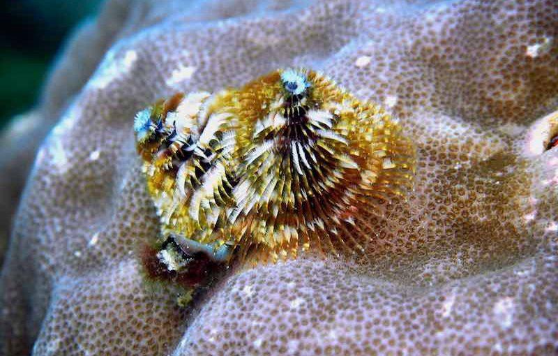 イバラカンザシ|海の生物図鑑
