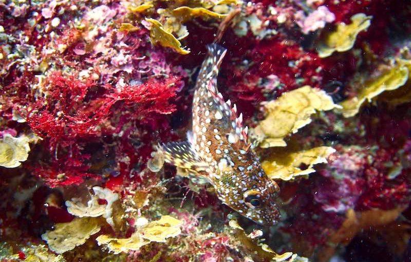 ウッカリカサゴ|お魚図鑑