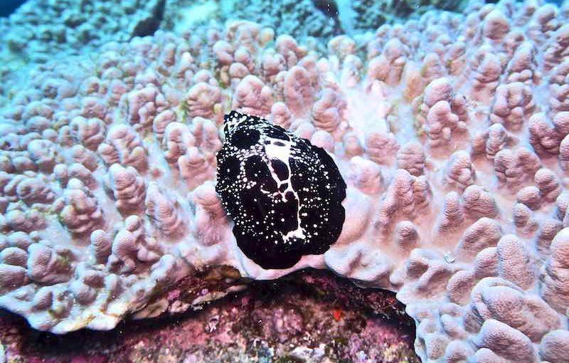 ウミウサギガイ|海の生物図鑑