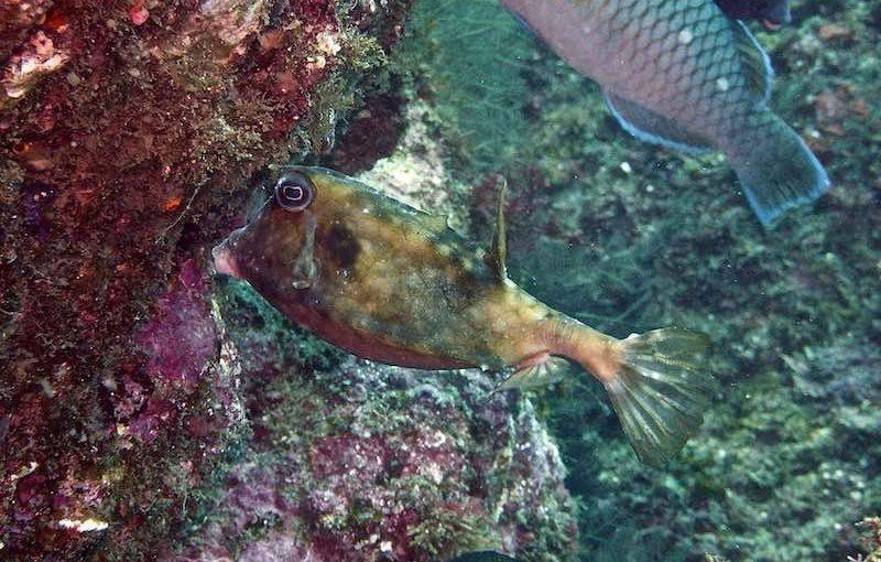 ウミスズメ|お魚図鑑