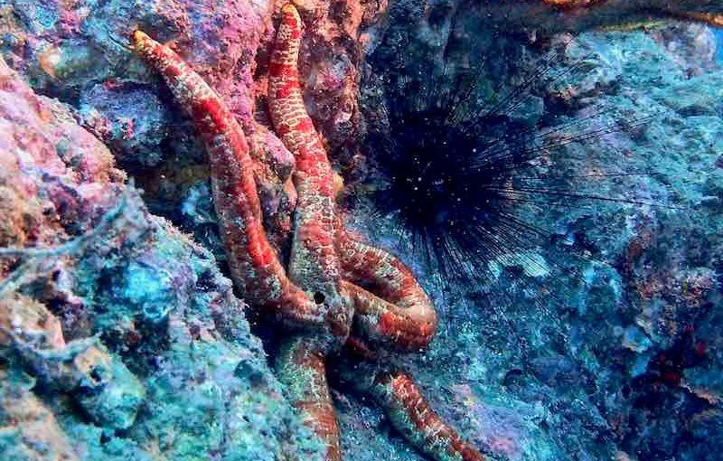 オオアカヒトデ|海の生物図鑑