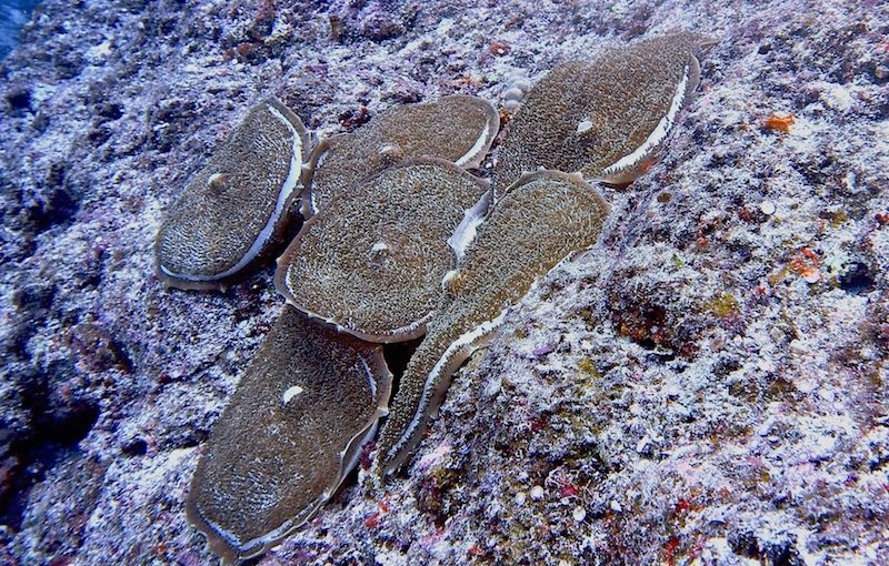 オオイソギンチャクモドキ|海の生物図鑑