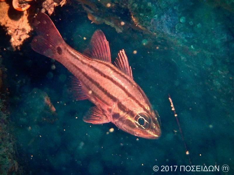 オオスジイシモチ(成魚)