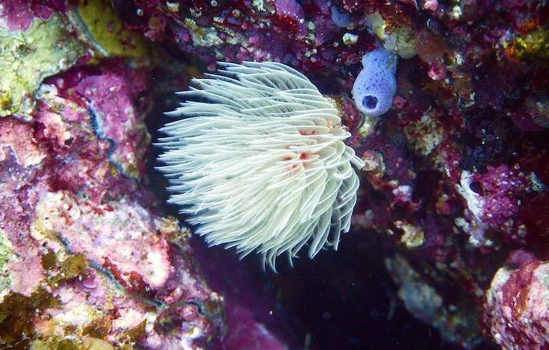オオナガレカンザシ|海の生物図鑑
