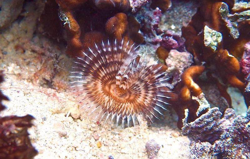 オオメケヤリ|海の生物図鑑
