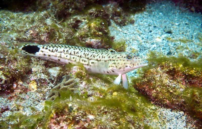 オグロトラギス|お魚図鑑