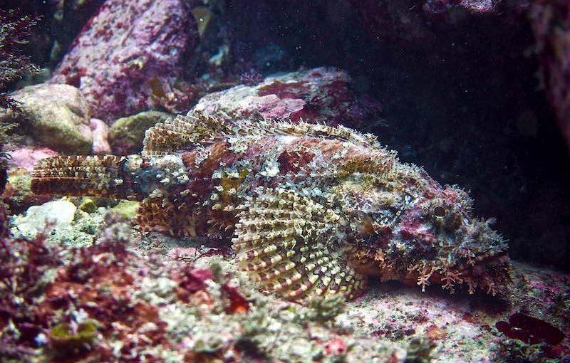 オニカサゴ|お魚図鑑