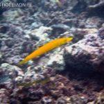 カマスベラ-黄色タイプ(成魚)