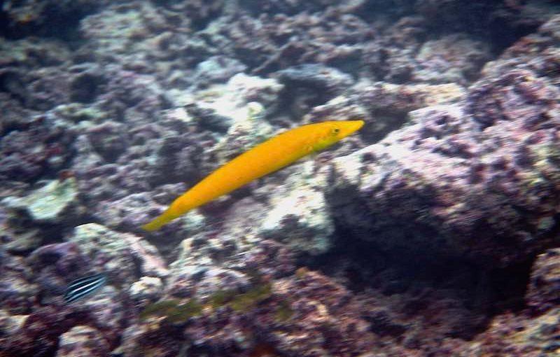 カマスベラ|お魚図鑑