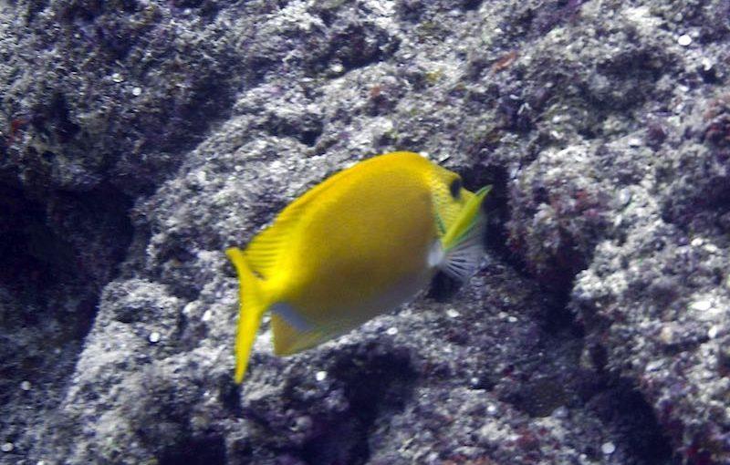 キイロハギ|お魚図鑑