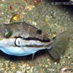 キタマクラ(幼魚)