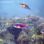 クロヘリイトヒキベラ(成魚)-黄班型