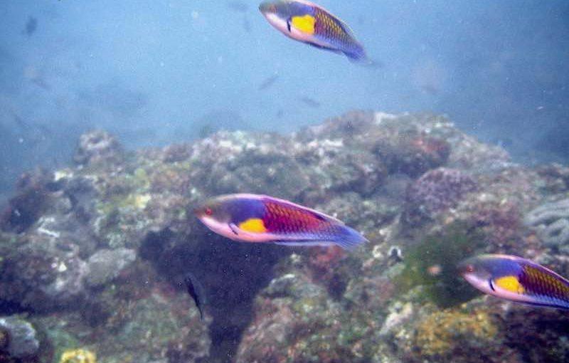 クロヘリイトヒキベラ|お魚図鑑