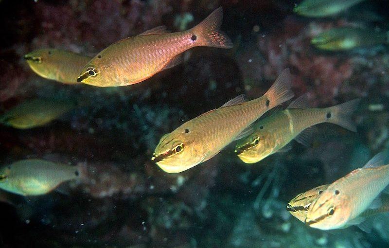 クロホシイシモチ|お魚図鑑