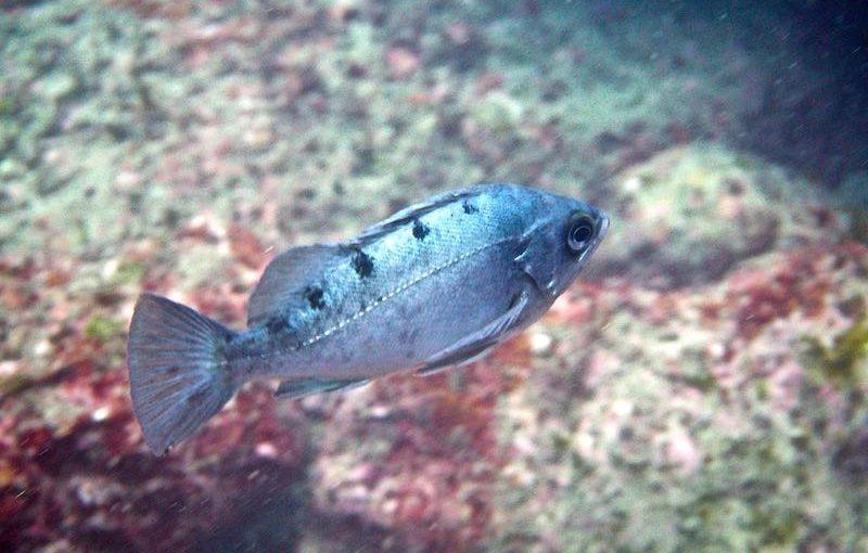 クロメバル|お魚図鑑