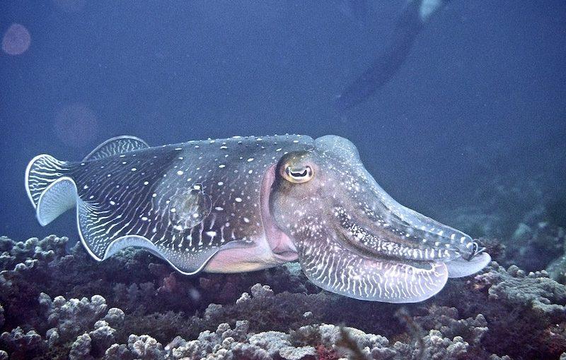 コブシメ|海の生物図鑑