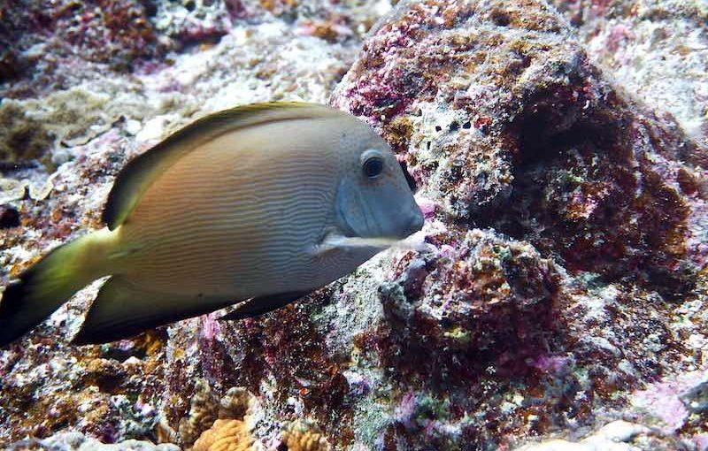 サザナミハギ|お魚図鑑