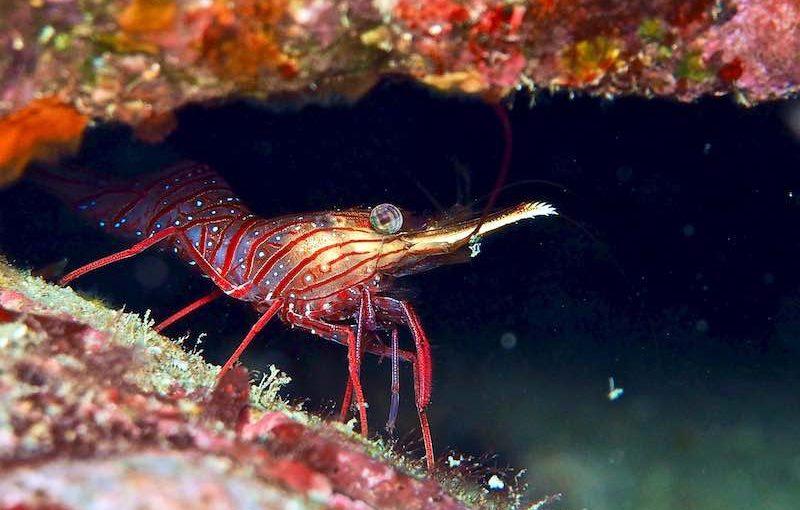サラサエビ|海の生物図鑑