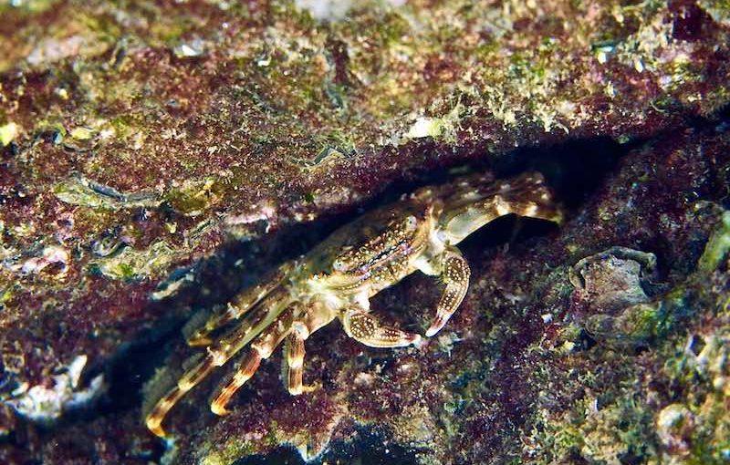 ショウジンガニ|海の生物図鑑