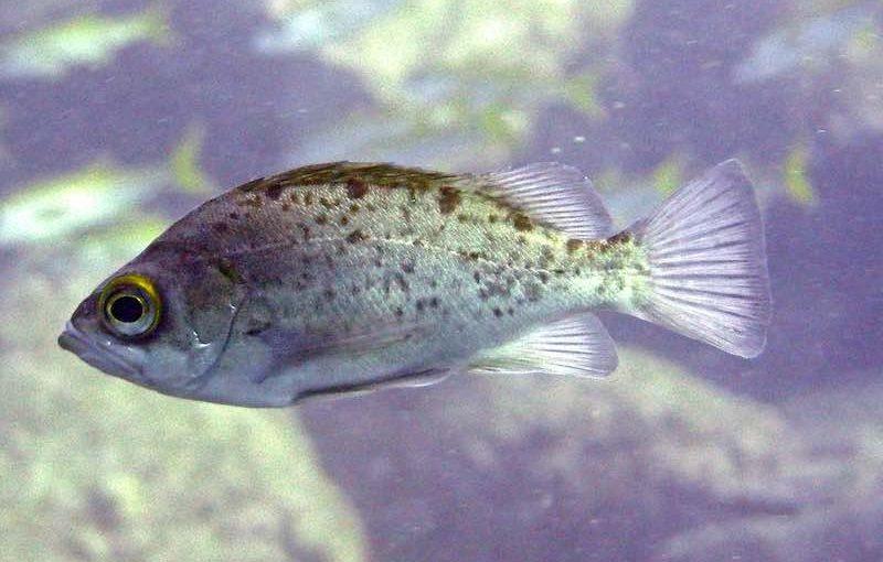 シロメバル|お魚図鑑