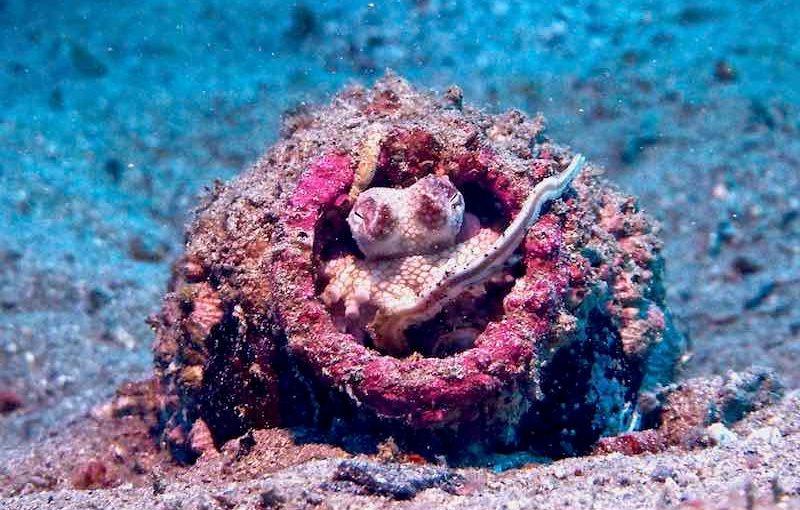 スナダコ|海の生物図鑑
