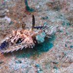 セミホウボウ(幼魚)