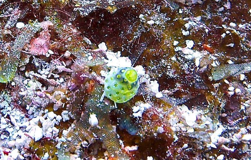 チャツボボヤ|海の生物図鑑