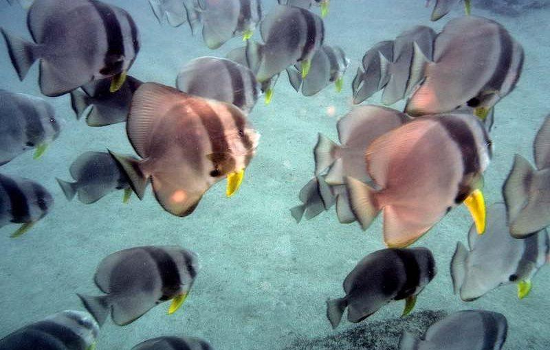 ツバメウオ|お魚図鑑