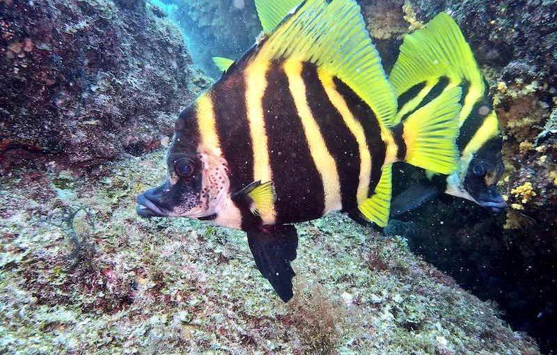 テングダイ|お魚図鑑