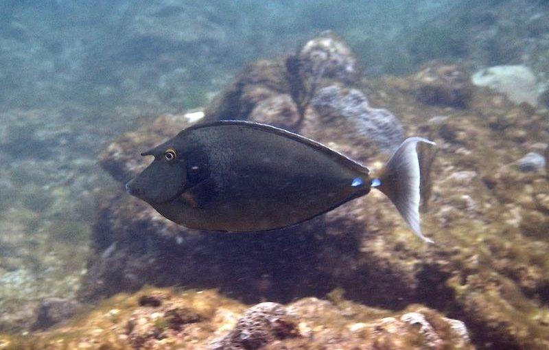 テングハギ|お魚図鑑