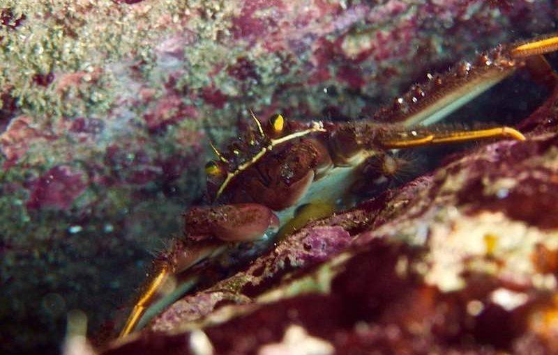 トゲアシガニ|海の生物図鑑