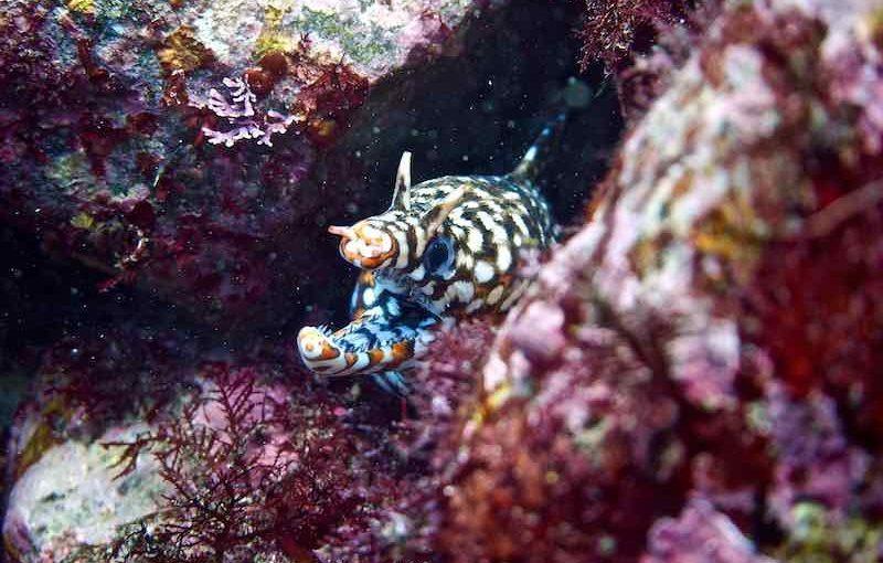 トラウツボ|お魚図鑑