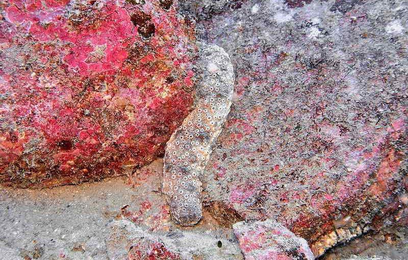 トラフナマコ|海の生物図鑑
