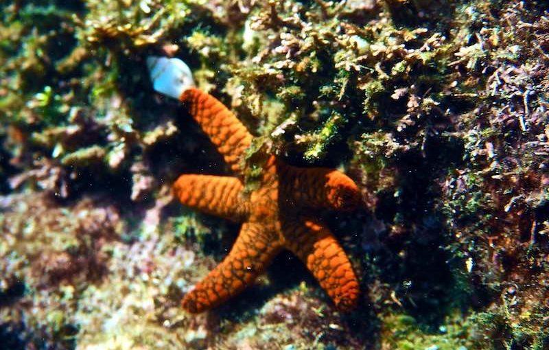 ニセアライボヒトデ|海の生物図鑑
