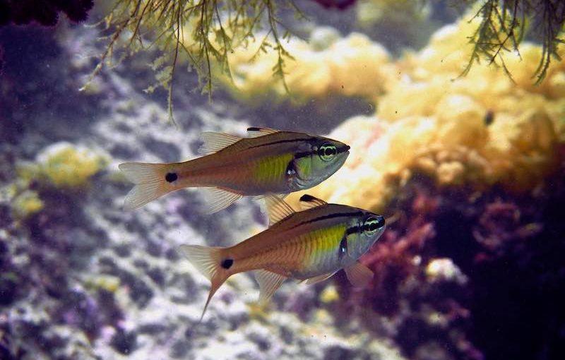 ネンブツダイ|お魚図鑑