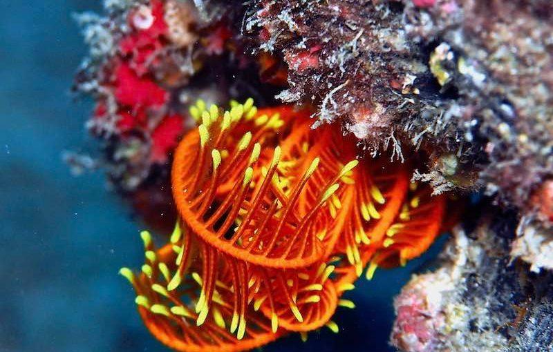 ハナウミシダ|海の生物図鑑