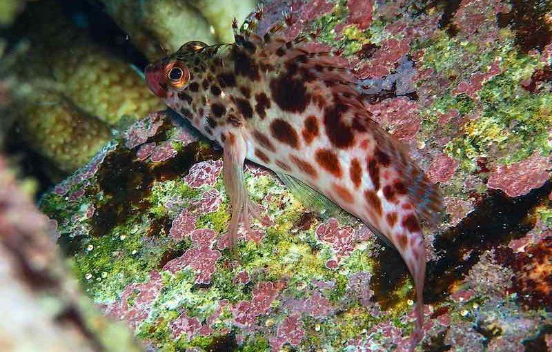 ヒメゴンベ|お魚図鑑