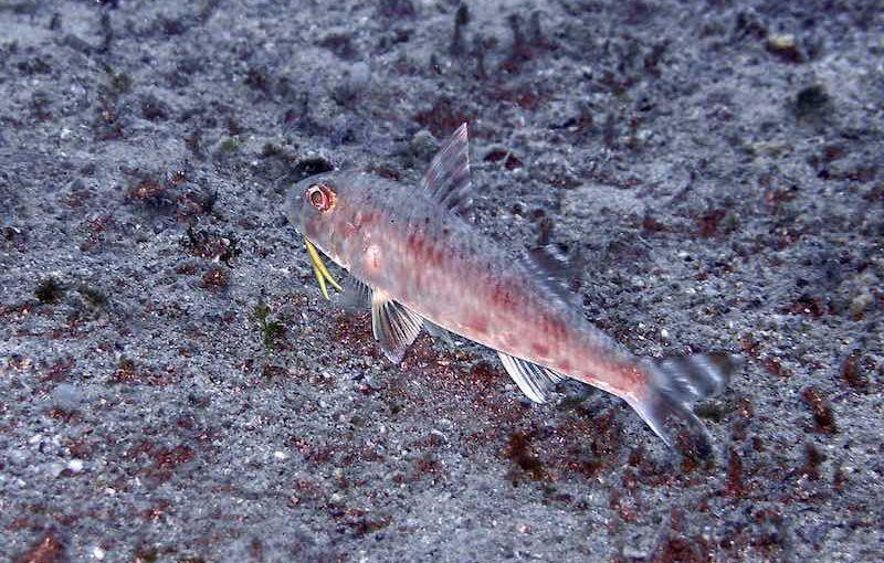 ヒメジ|お魚図鑑