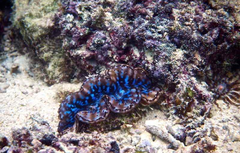 ヒメシャコガイ|海の生物図鑑