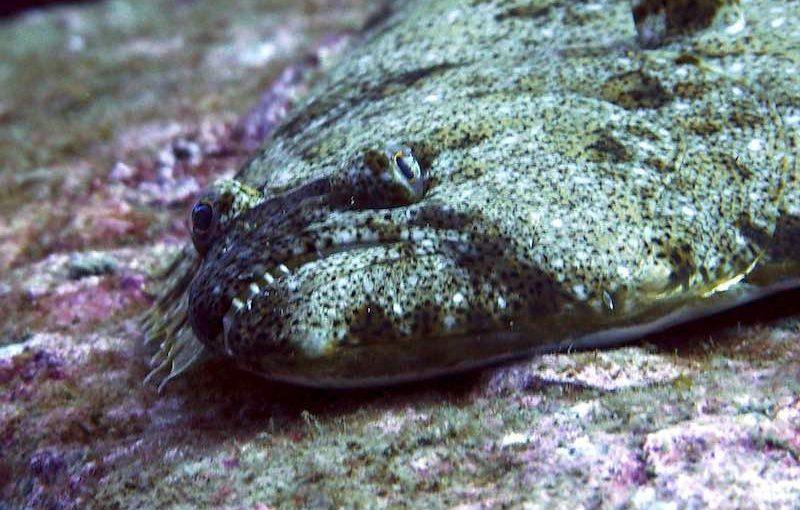 ヒラメ|お魚図鑑