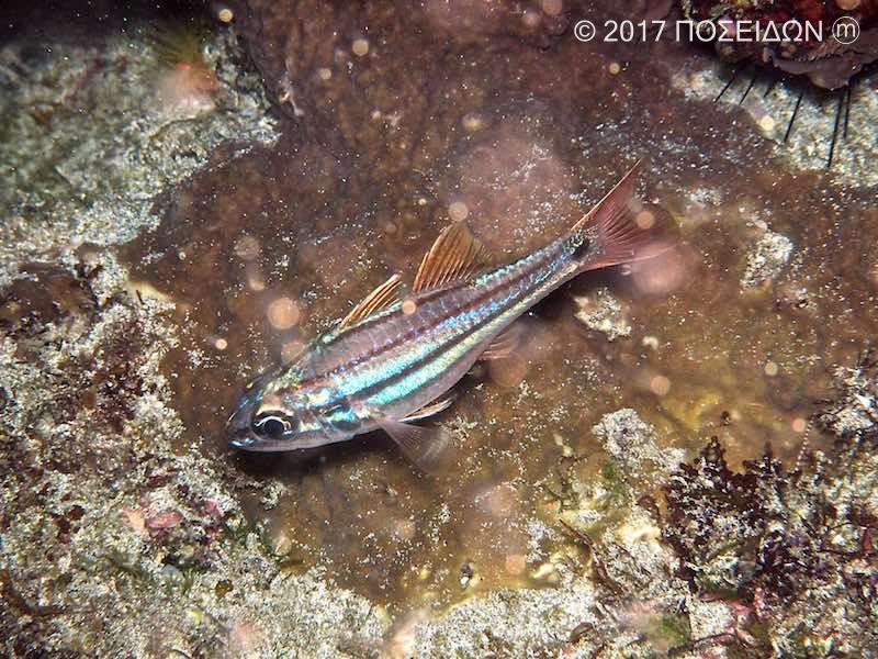 フタスジイシモチ(成魚)