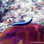 ホンソメワケベラ(幼魚)