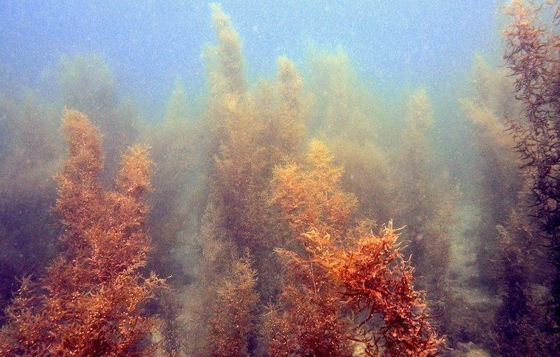 ホンダワラ|海の生物図鑑