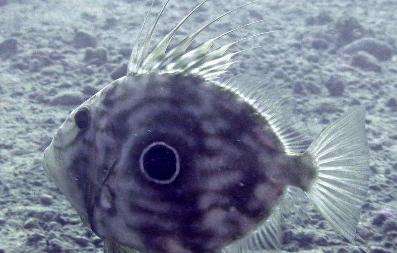 マトウダイ|お魚図鑑