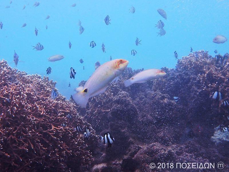 ミツボシキュウセン(成魚)