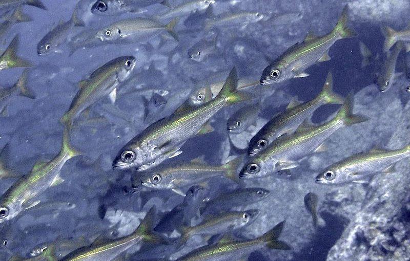 ムツ|お魚図鑑
